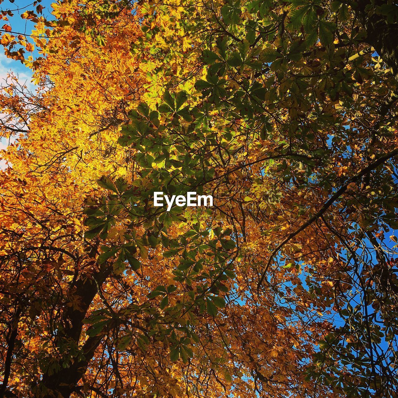 autumn, plant, tree, beauty in nature, growth, change, branch, low angle view, nature, orange color, tranquility, day, no people, plant part, leaf, outdoors, scenics - nature, yellow, land, full frame, maple leaf, tree canopy, fall, natural condition