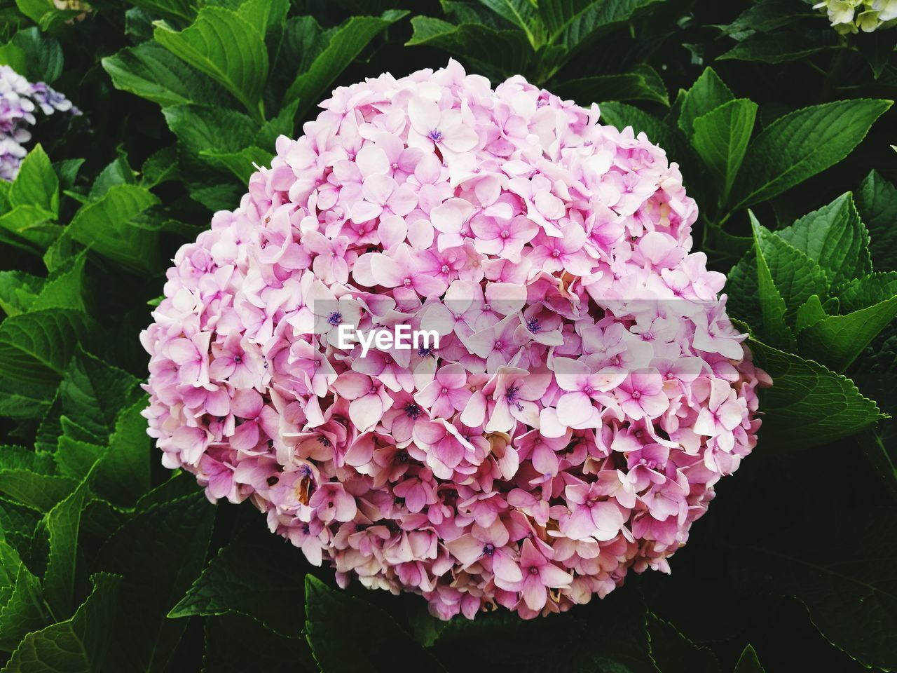 beauty in nature, flower, nature, growth, petal, plant, fragility, leaf, freshness, day, pink color, flower head, outdoors, blooming, no people, close-up