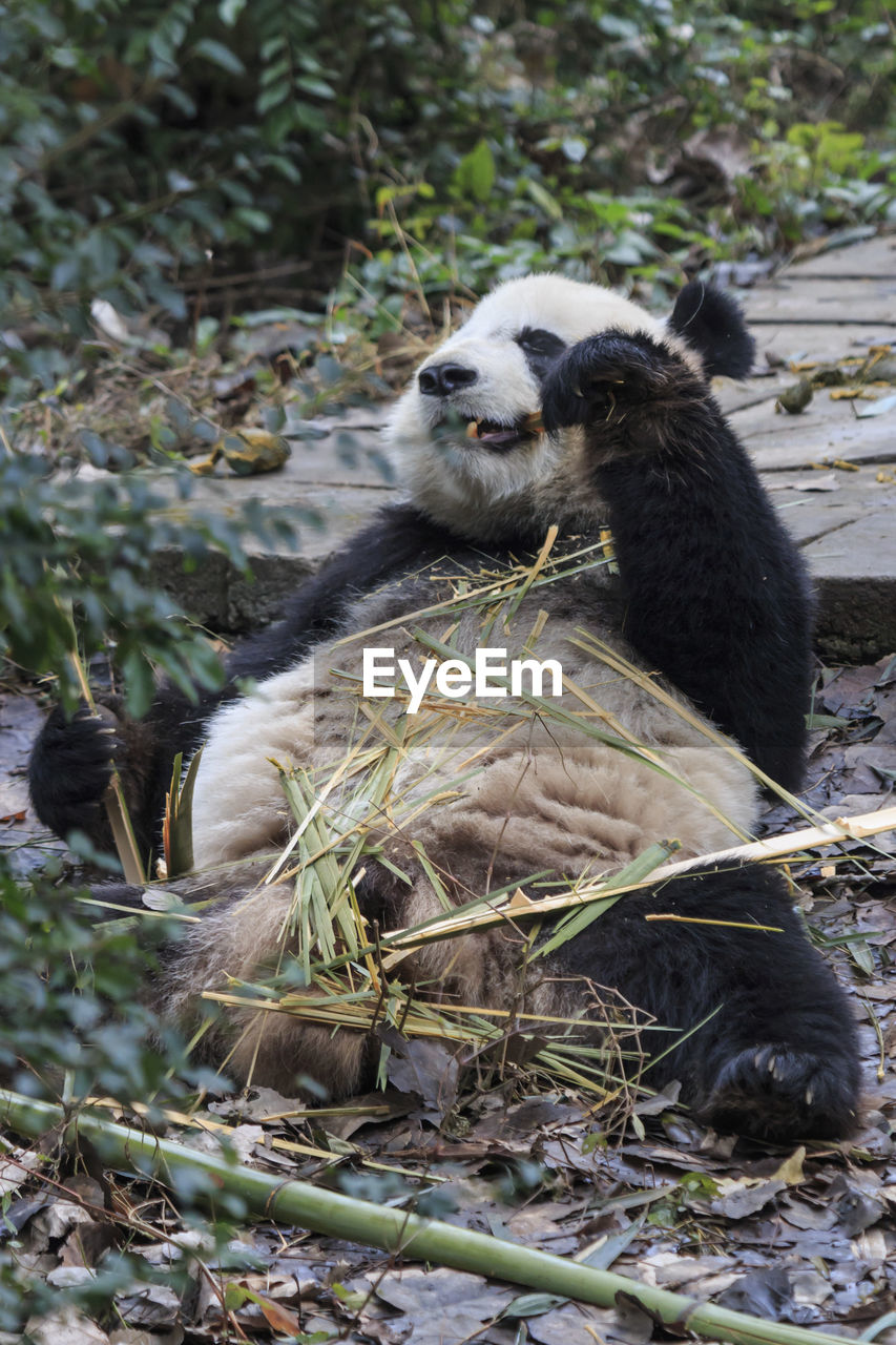 mammal, one animal, animal wildlife, vertebrate, animals in the wild, nature, plant, no people, day, tree, land, zoology, outdoors, eating, panda - animal