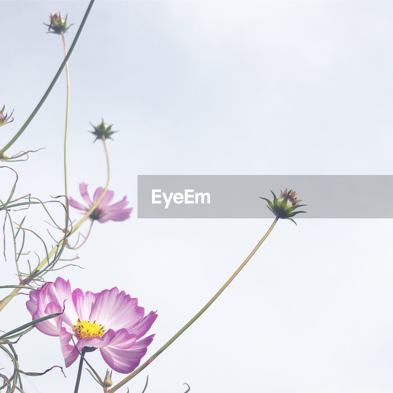 flowering plant, flower, plant, freshness, beauty in nature, vulnerability, fragility, growth, petal, nature, flower head, close-up, no people, inflorescence, pink color, sky, plant stem, day, clear sky, low angle view, purple, outdoors, sepal