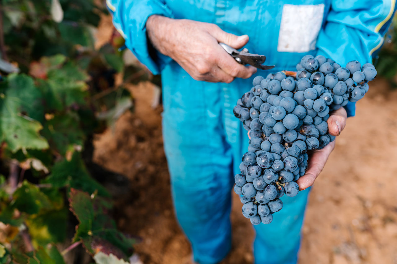 MIDSECTION OF MAN HOLDING GRAPES IN FARM