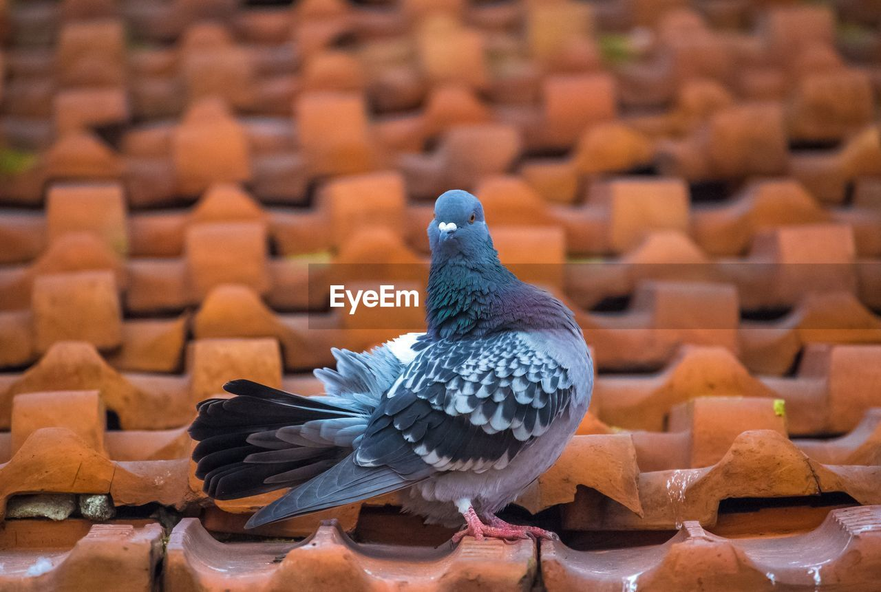 bird, vertebrate, animal, animal themes, animal wildlife, animals in the wild, no people, focus on foreground, perching, close-up, orange color, one animal, brown, pigeon, day, blue, nature, in a row, large group of objects, abundance, roof tile