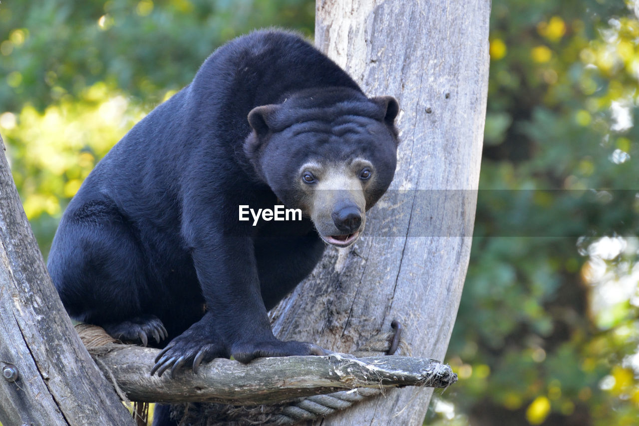 Bear sitting on tree in forest