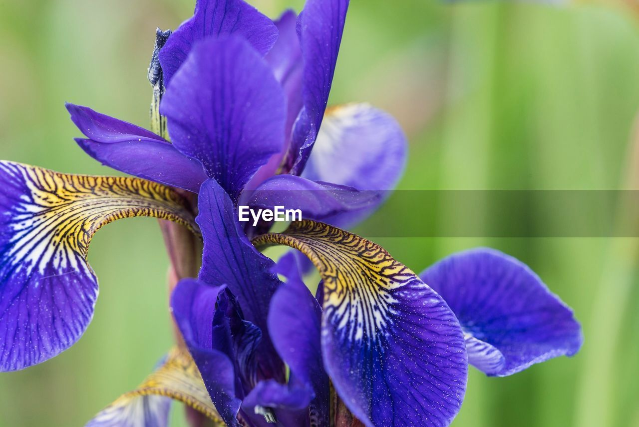 flowering plant, flower, vulnerability, close-up, beauty in nature, fragility, plant, purple, petal, growth, freshness, flower head, inflorescence, iris - plant, focus on foreground, nature, day, no people, blue, iris