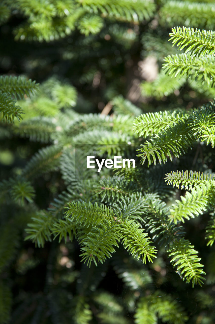 plant, tree, green color, growth, day, no people, focus on foreground, nature, beauty in nature, close-up, tranquility, leaf, outdoors, branch, plant part, pine tree, coniferous tree, selective focus, needle - plant part, green, fir tree