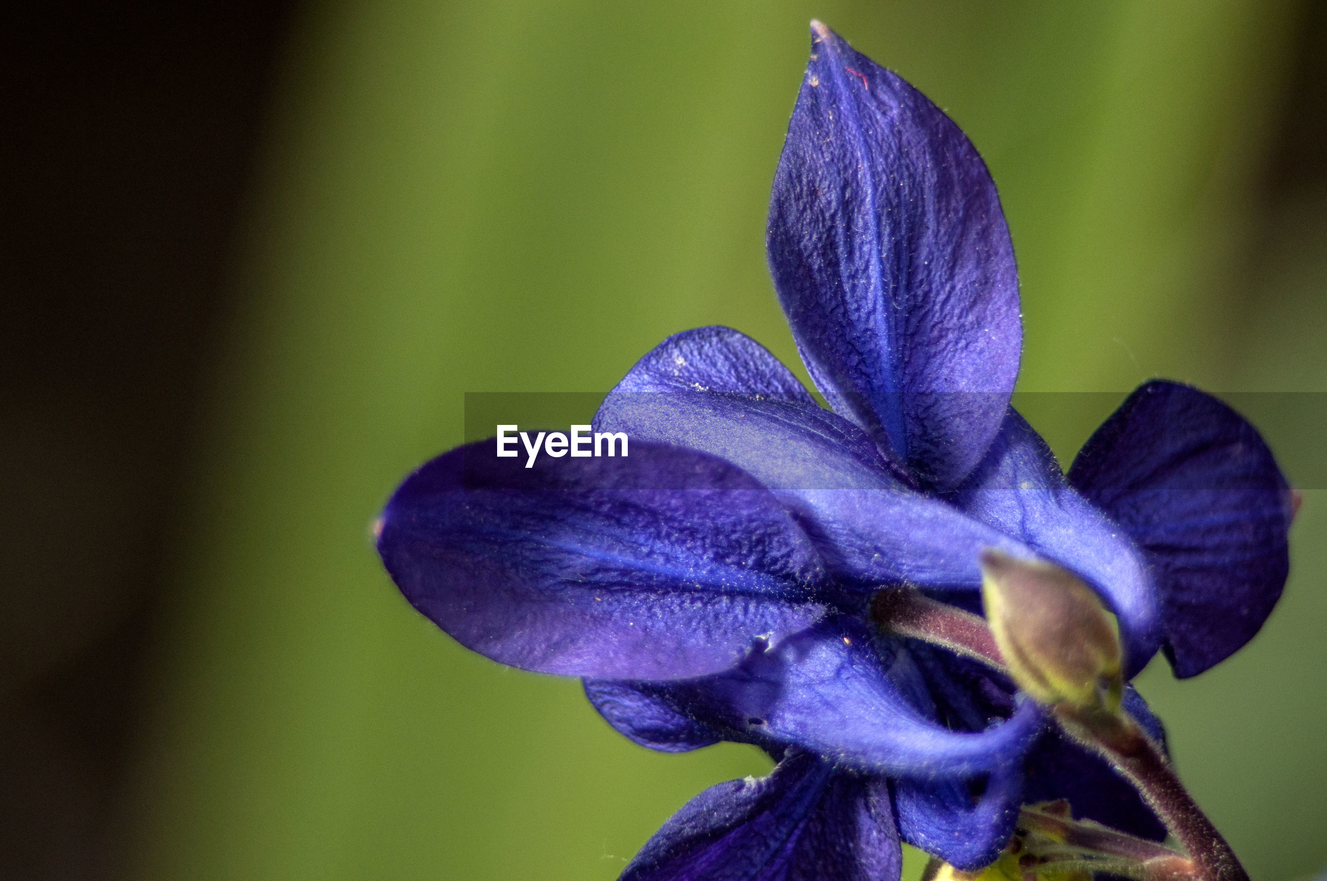 CLOSE-UP OF PURPLE IRIS FLOWER GROWING OUTDOORS