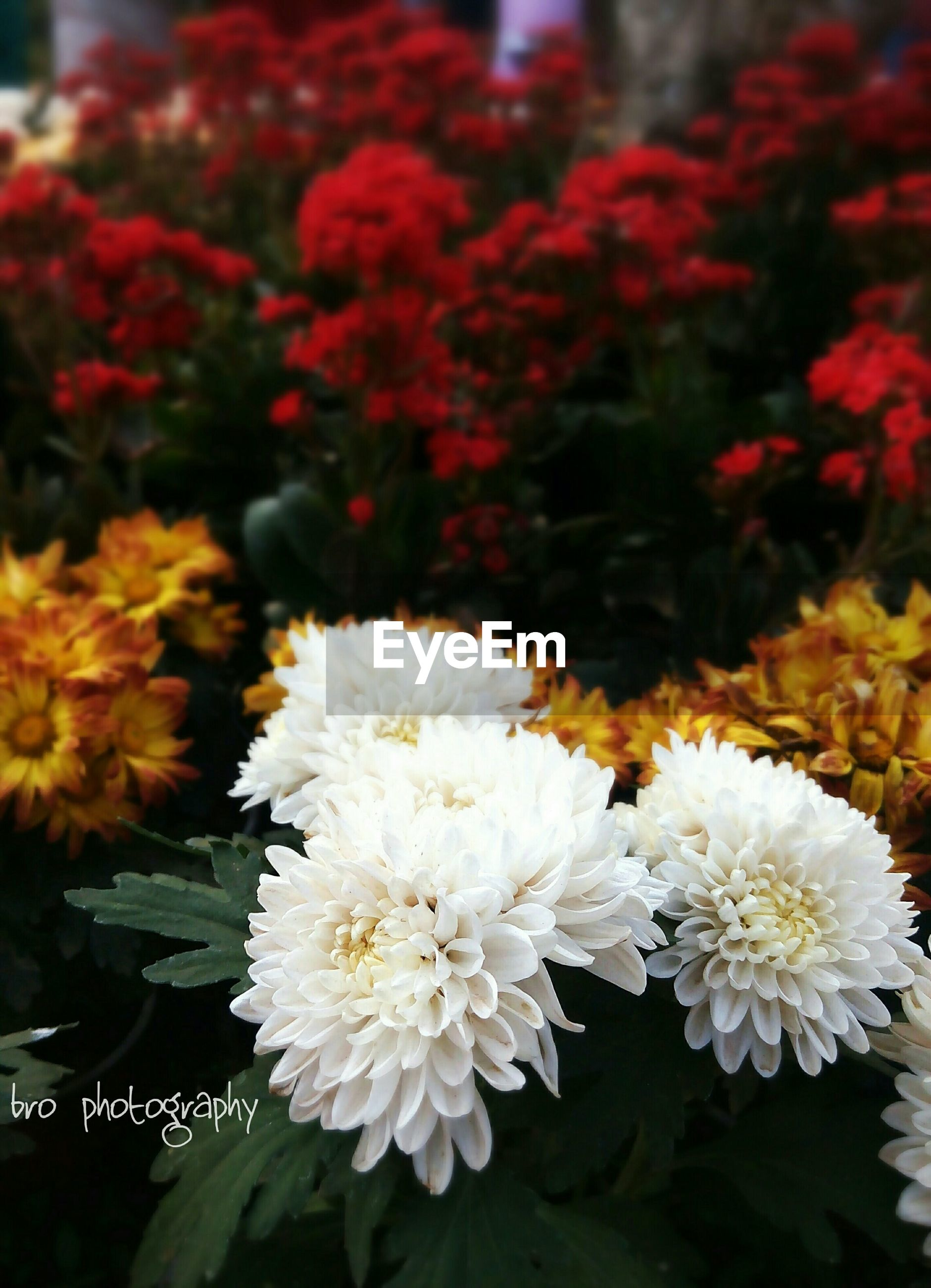 flower, freshness, petal, fragility, flower head, beauty in nature, growth, blooming, nature, close-up, in bloom, focus on foreground, high angle view, plant, white color, bunch of flowers, abundance, blossom, botany, park - man made space