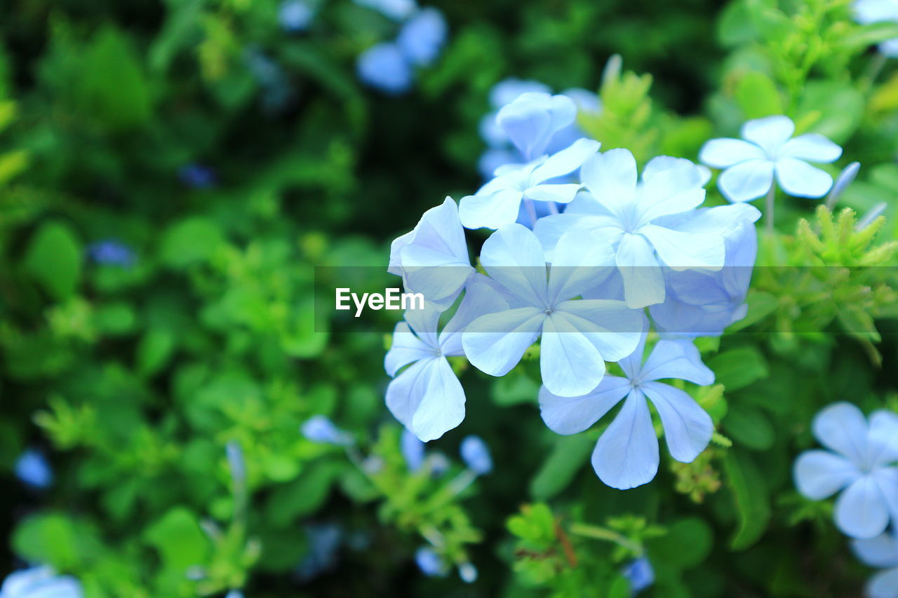 plant, flower, flowering plant, freshness, beauty in nature, fragility, vulnerability, growth, close-up, day, petal, inflorescence, focus on foreground, flower head, nature, blue, white color, no people, green color, outdoors, purple