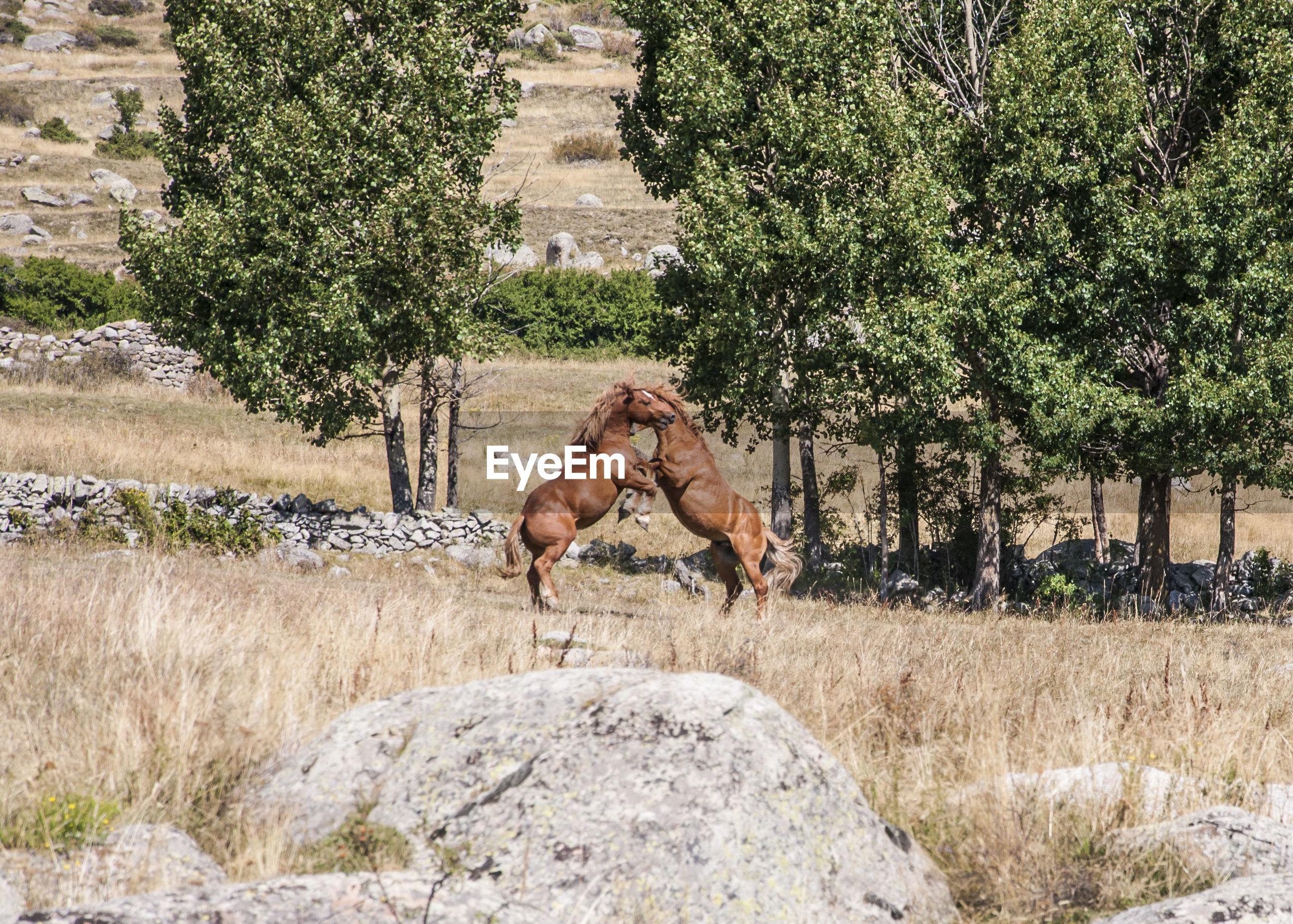 Horses fighting on field
