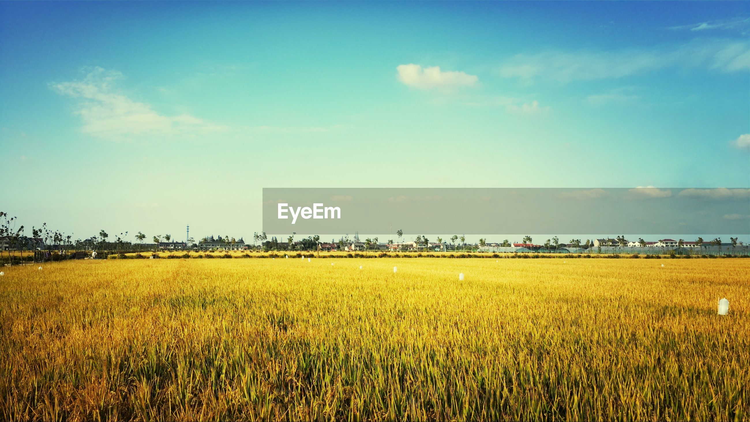 agriculture, field, rural scene, yellow, farm, landscape, growth, crop, sky, beauty in nature, tranquil scene, tranquility, nature, scenics, flower, cultivated land, oilseed rape, plant, blue, horizon over land