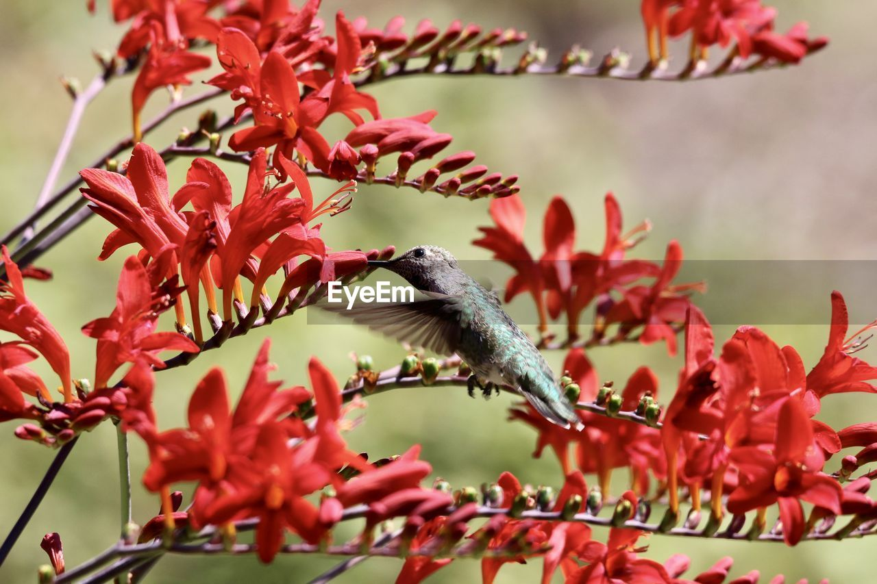 CLOSE-UP OF BIRD PERCHING ON RED FLOWERING PLANT