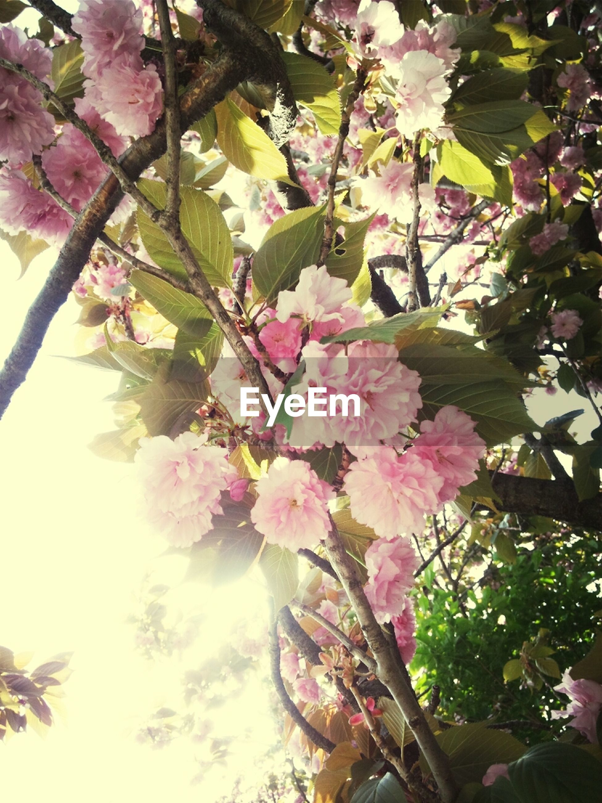 flower, freshness, branch, growth, pink color, tree, low angle view, beauty in nature, fragility, nature, blossom, in bloom, petal, blooming, pink, sunlight, cherry blossom, cherry tree, springtime, leaf