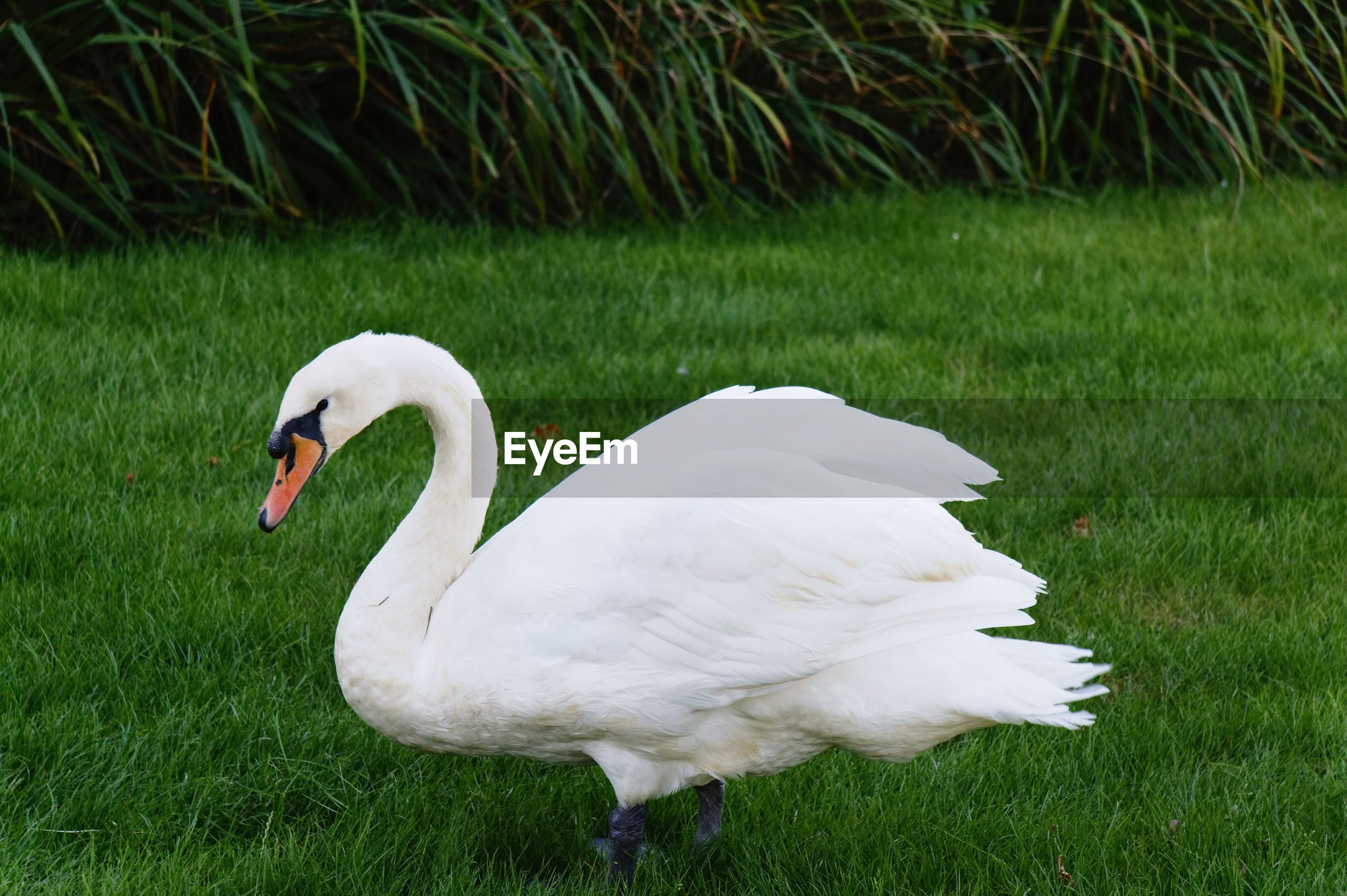 WHITE SWAN ON GRASS