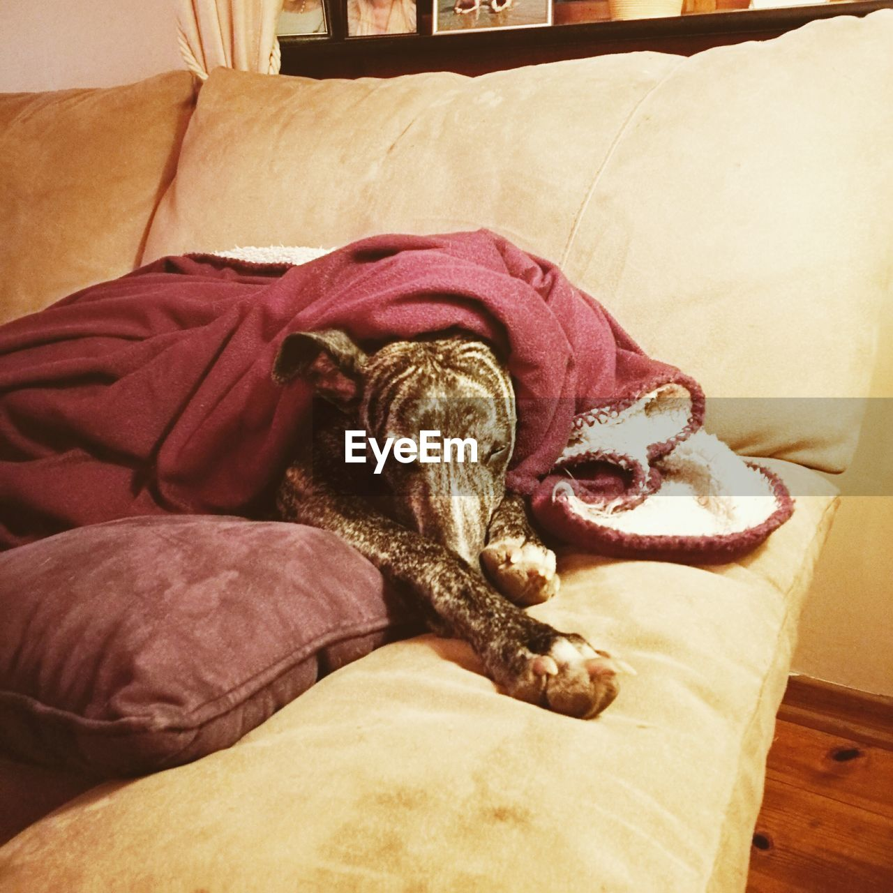 one animal, mammal, pets, dog, animal themes, relaxation, domestic animals, indoors, resting, sofa, home interior, no people, comfortable, bed, lying down, pillow, sitting, day, close-up