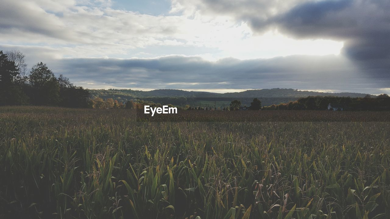 agriculture, field, growth, farm, nature, landscape, tranquility, sky, tranquil scene, beauty in nature, rural scene, crop, scenics, no people, cereal plant, day, outdoors, wheat, grass, tree