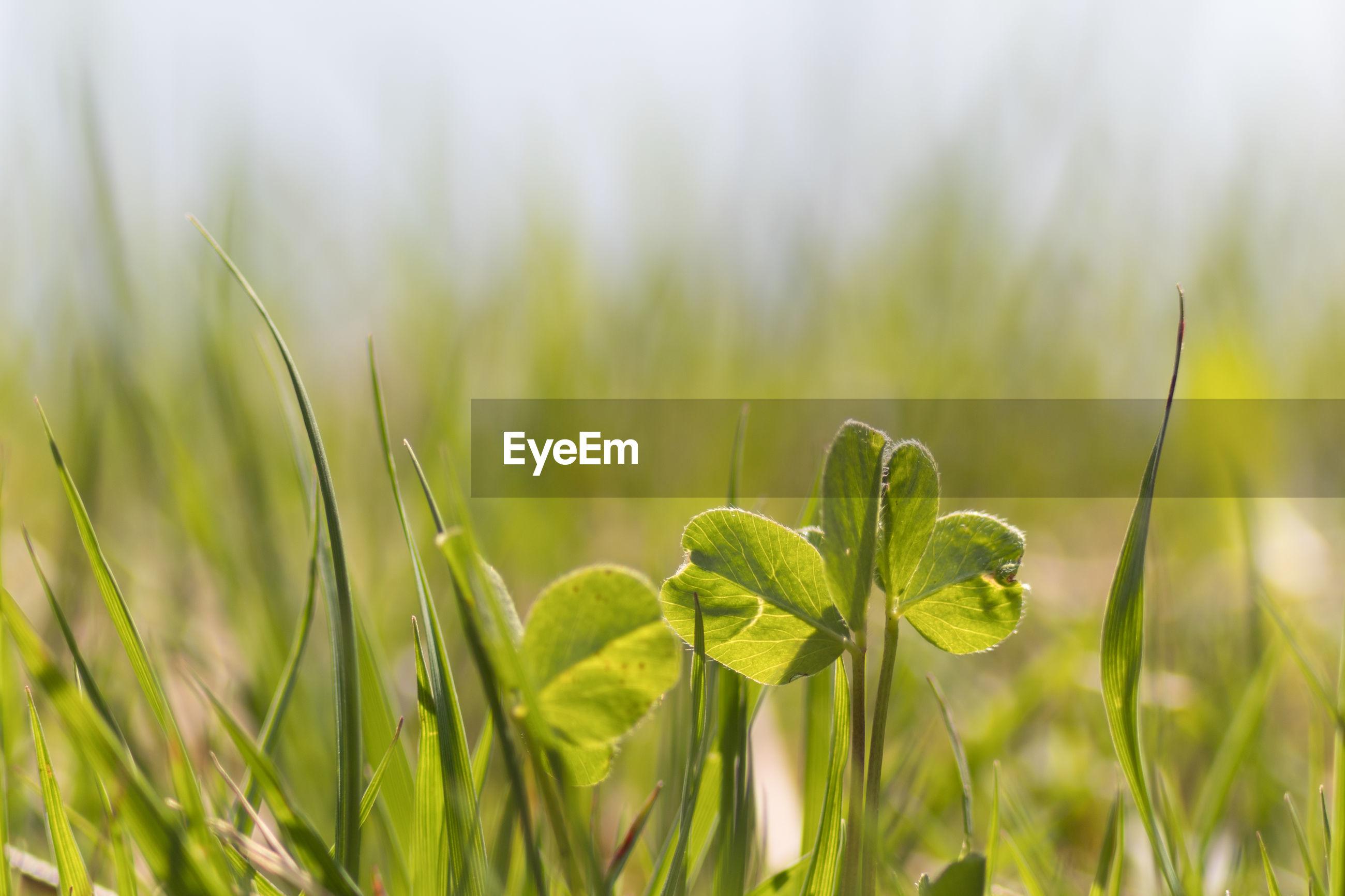 CLOSE-UP OF FRESH GREEN GRASS