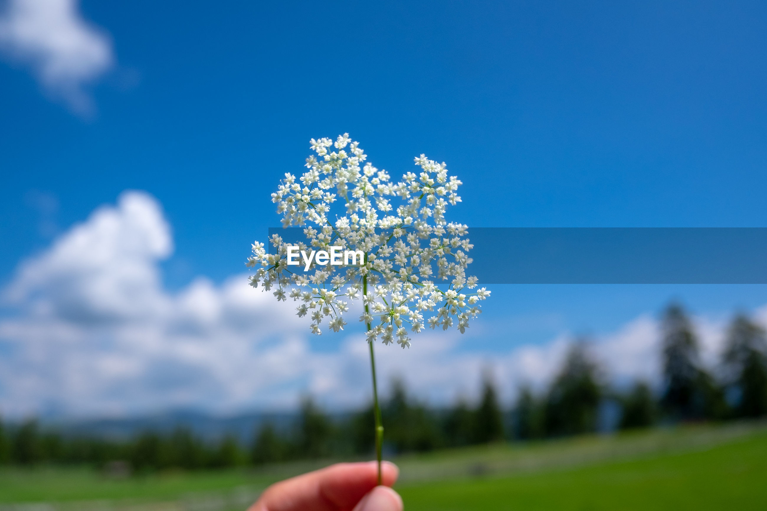 Close-up of hand holding flowering plant against blue sky during sunny day