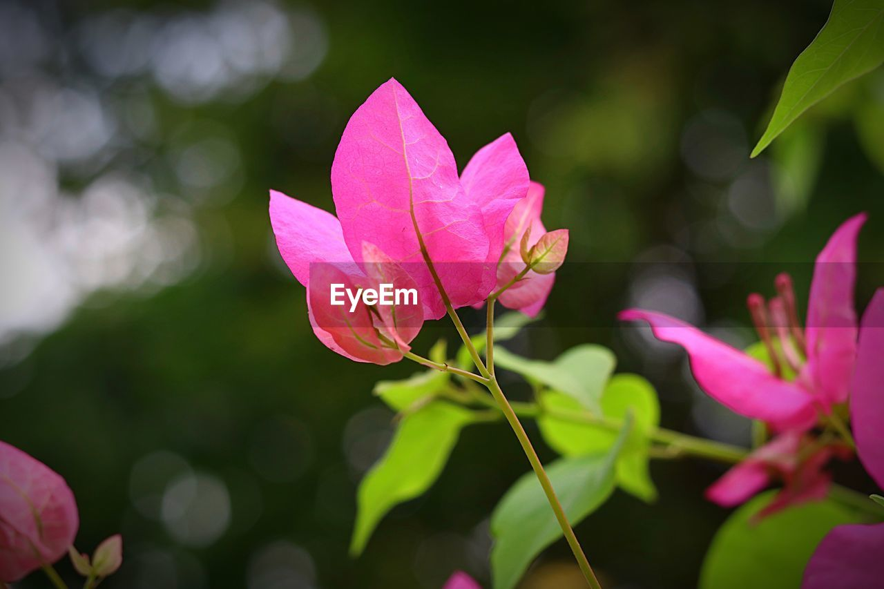 pink color, growth, nature, leaf, fragility, petal, flower, outdoors, day, beauty in nature, no people, plant, focus on foreground, flower head, freshness, close-up, blooming