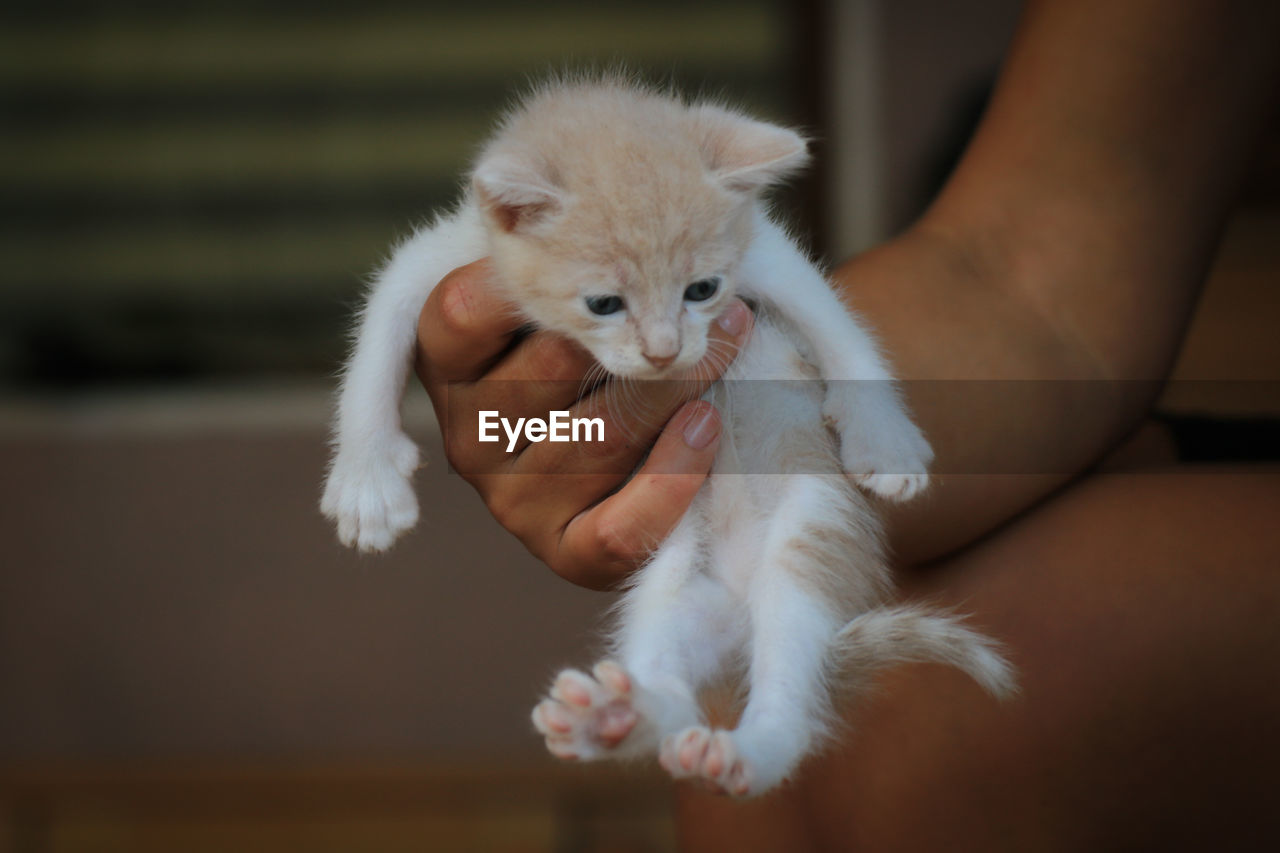 CLOSE-UP OF HAND HOLDING WHITE KITTEN ON BED