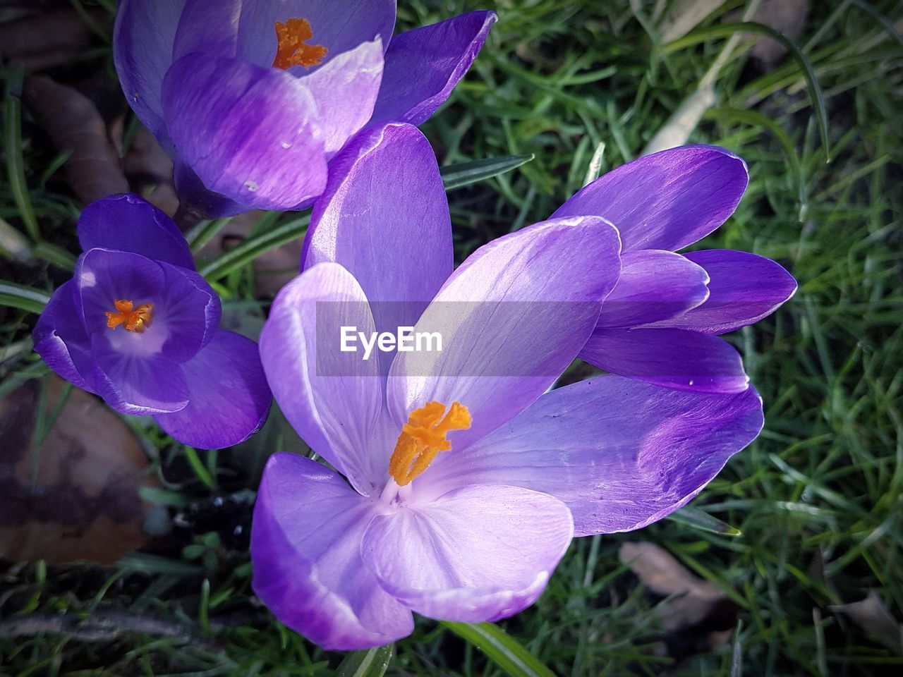 flower, petal, growth, nature, beauty in nature, flower head, fragility, purple, freshness, plant, outdoors, blooming, day, no people, close-up, crocus