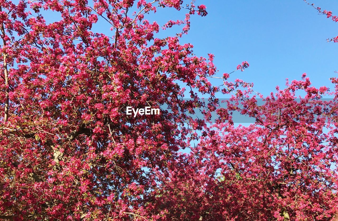 flower, beauty in nature, tree, blossom, low angle view, growth, nature, springtime, pink color, fragility, freshness, branch, no people, day, backgrounds, outdoors, spring, clear sky, blooming, sky, close-up