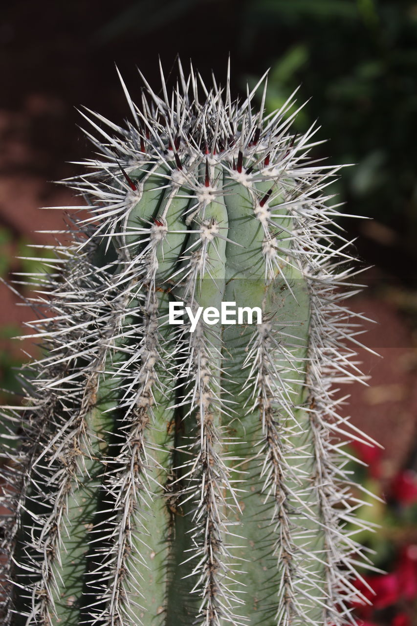spiked, cactus, focus on foreground, thorn, green color, growth, nature, close-up, plant, outdoors, day, no people, beauty in nature