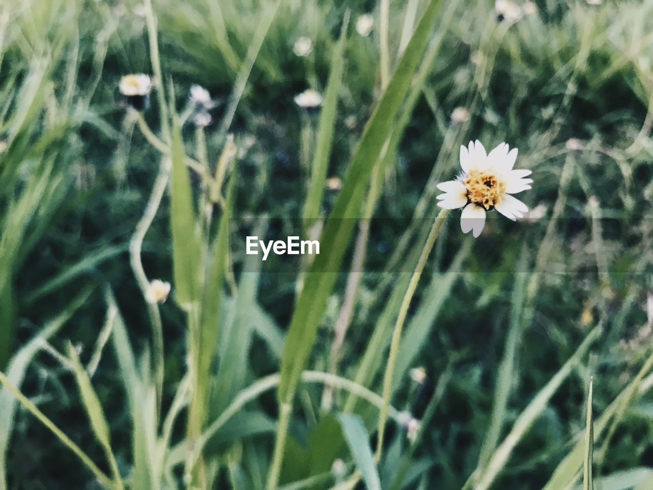 flower, growth, fragility, nature, plant, petal, freshness, flower head, beauty in nature, field, blooming, no people, outdoors, day, grass, close-up