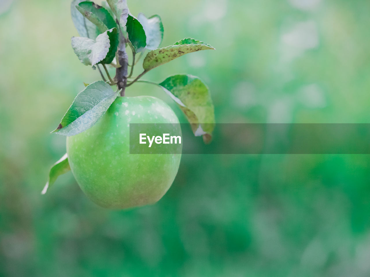 fruit, plant, freshness, growth, green color, food, food and drink, healthy eating, close-up, no people, focus on foreground, nature, leaf, plant part, day, beauty in nature, outdoors, wellbeing, tree, selective focus
