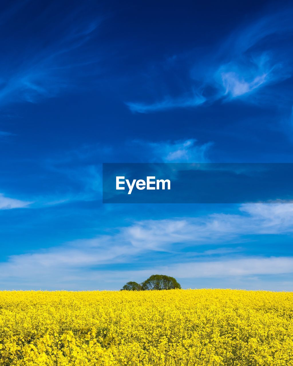 yellow, sky, beauty in nature, field, environment, landscape, cloud - sky, agriculture, land, tranquil scene, oilseed rape, tranquility, scenics - nature, growth, flower, plant, farm, blue, crop, rural scene, no people, outdoors, plantation