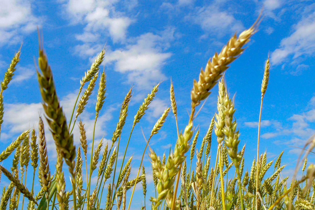 plant, growth, sky, cloud - sky, nature, beauty in nature, cereal plant, day, crop, no people, agriculture, tranquility, low angle view, close-up, field, green color, blue, land, farm, wheat, outdoors, stalk