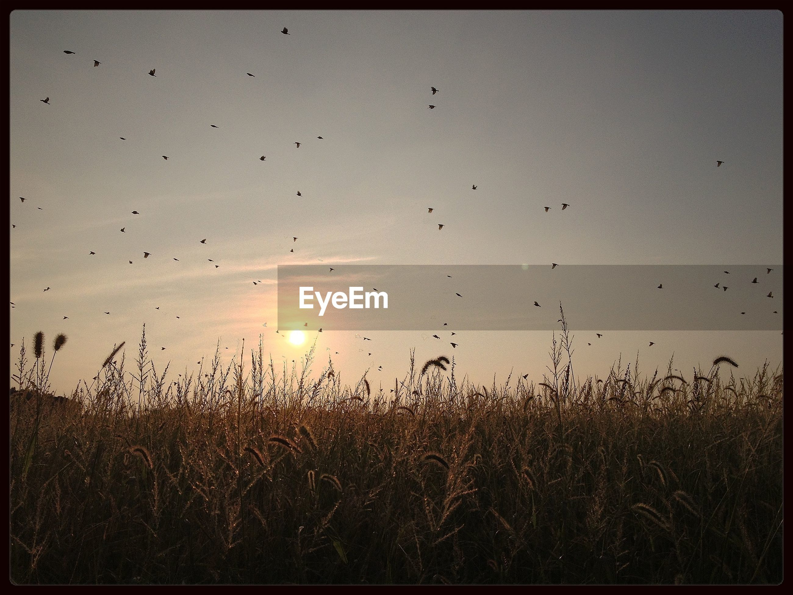 sunset, grass, bird, transfer print, field, sky, nature, beauty in nature, auto post production filter, tranquility, tranquil scene, animal themes, sun, flying, plant, scenics, growth, wildlife, silhouette