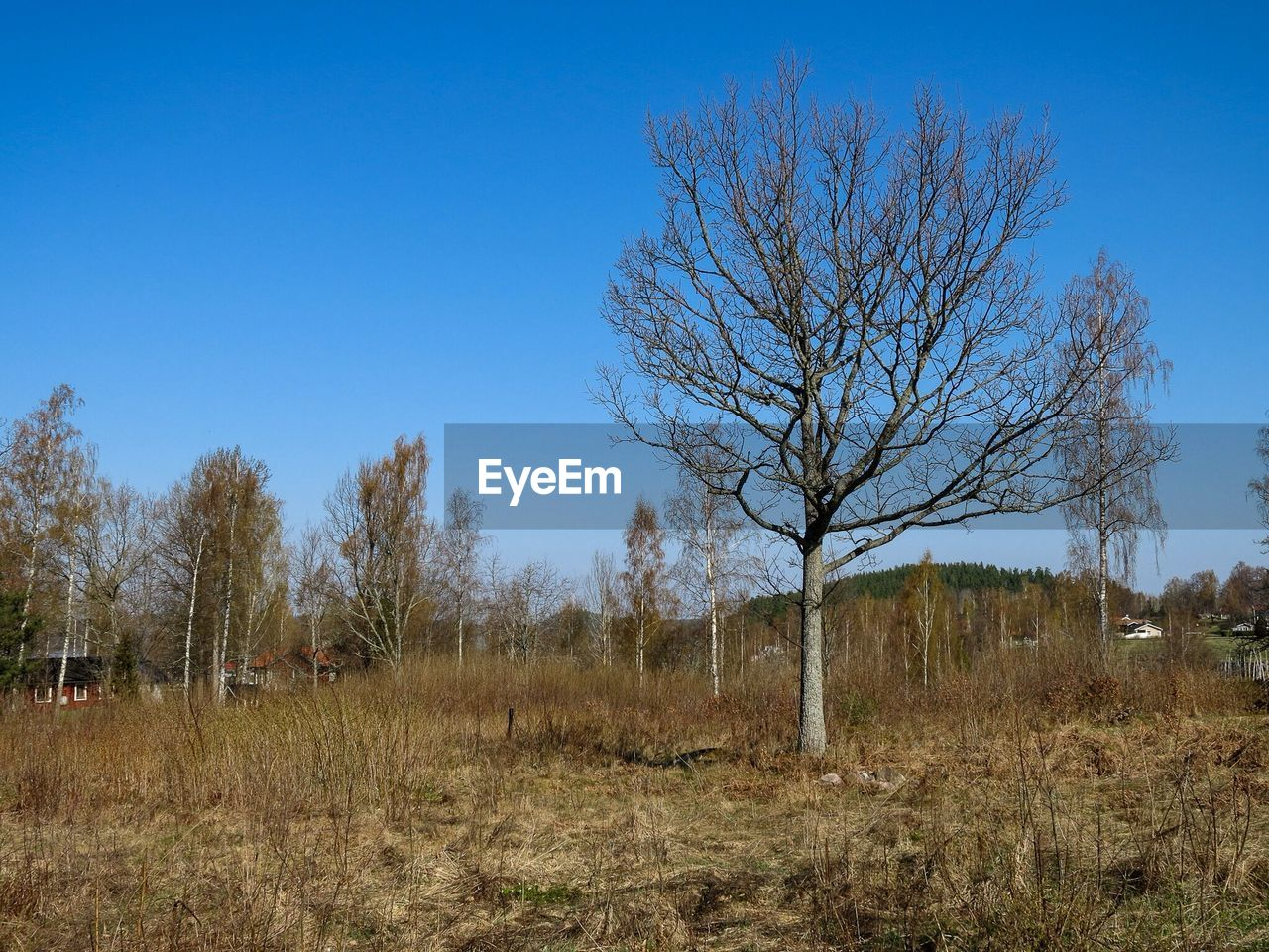 bare tree, tree, nature, landscape, day, no people, outdoors, tranquility, beauty in nature, clear sky, blue, branch, grass, sky