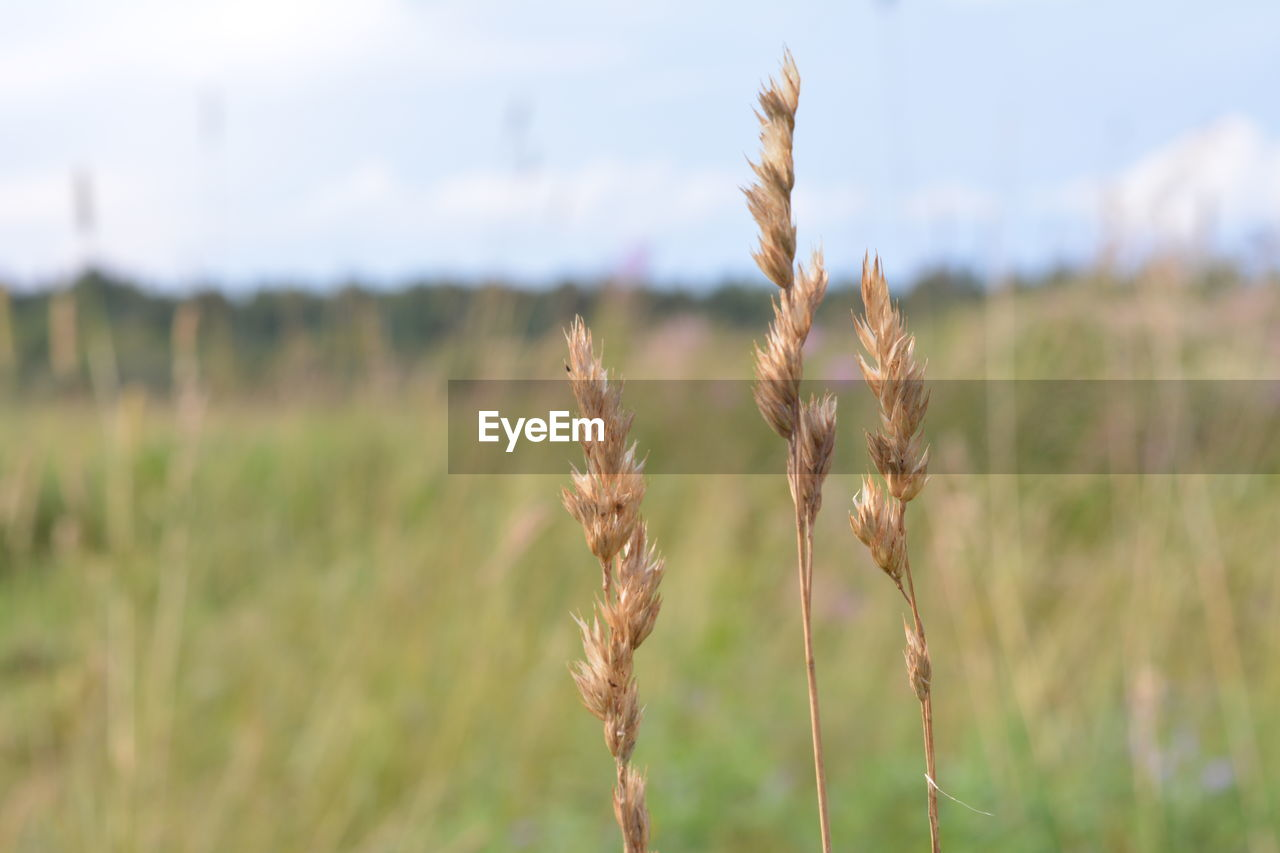 growth, nature, field, focus on foreground, plant, agriculture, no people, cereal plant, day, tranquility, wheat, beauty in nature, ear of wheat, outdoors, close-up, rural scene, sky