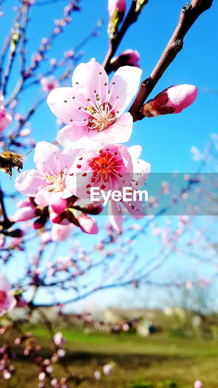 flower, fragility, blossom, beauty in nature, growth, springtime, cherry blossom, tree, freshness, nature, branch, petal, botany, pink color, orchard, cherry tree, apple blossom, stamen, apple tree, day, plum blossom, flower head, no people, twig, pollen, selective focus, close-up, white color, low angle view, blooming, outdoors, focus on foreground, sky, clear sky
