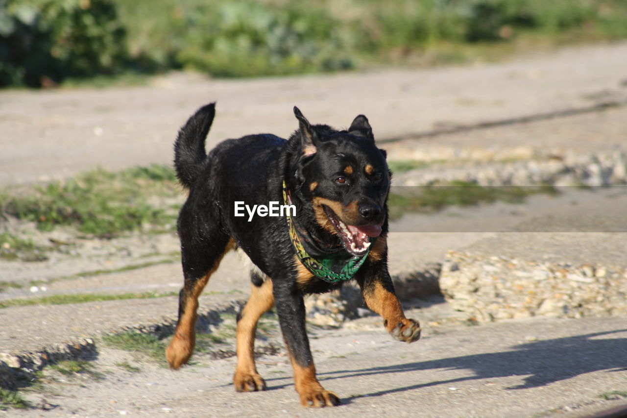 dog, canine, one animal, pets, domestic animals, domestic, mammal, animal, animal themes, vertebrate, focus on foreground, black color, day, running, nature, sunlight, no people, looking at camera, looking, portrait, mouth open, outdoors, purebred dog