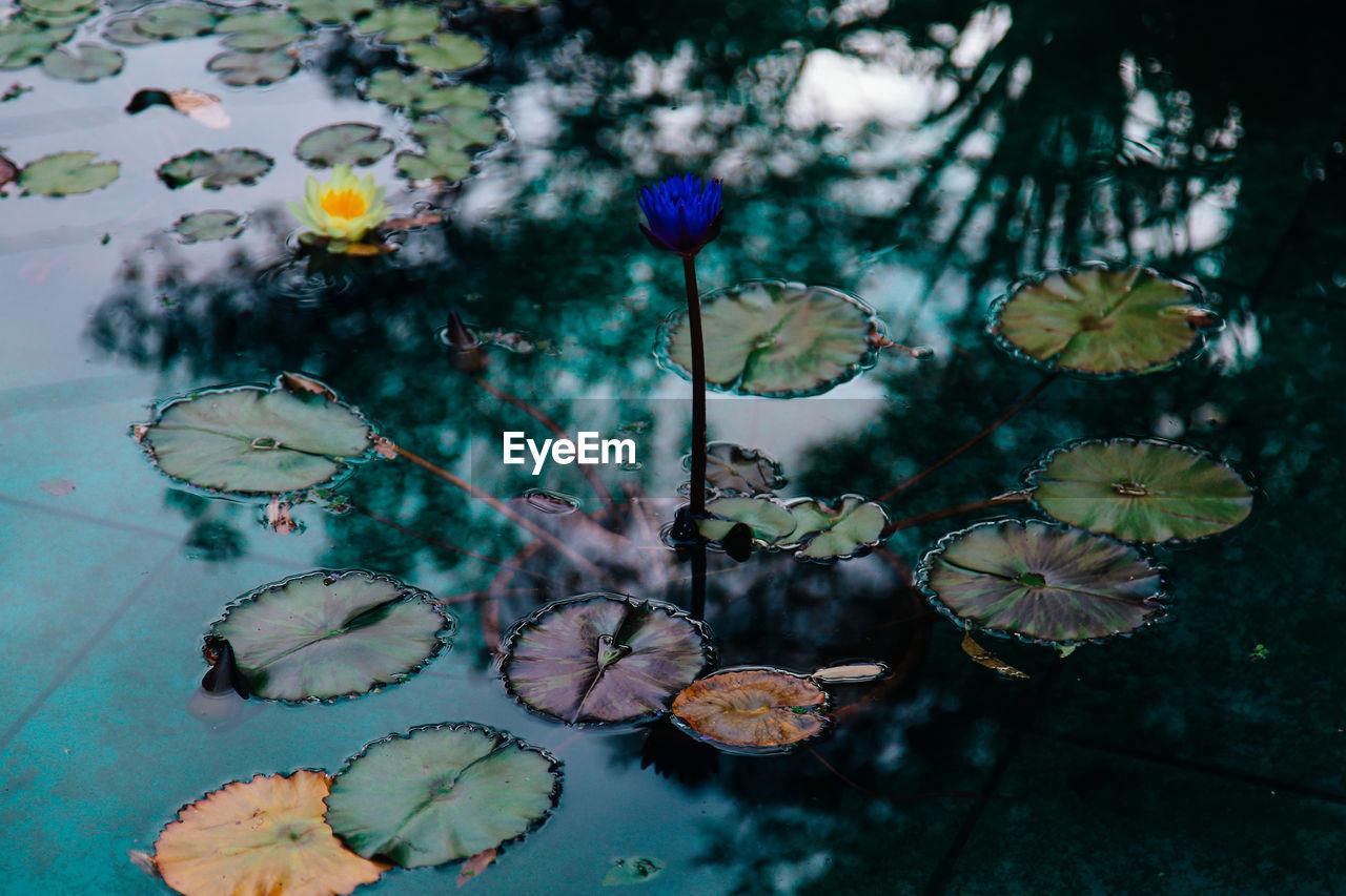 Lotus Floating On Pond