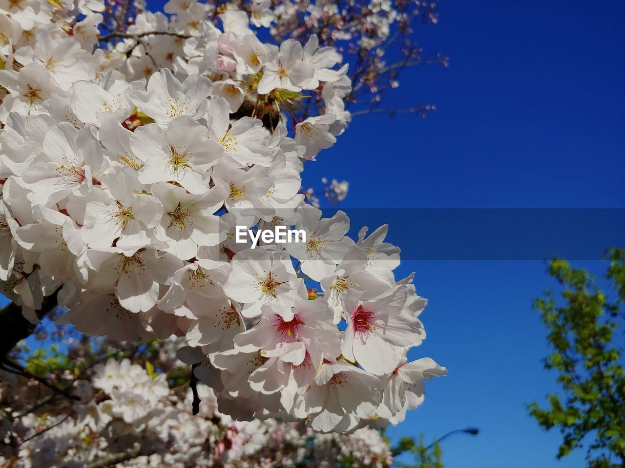 flower, plant, flowering plant, fragility, vulnerability, beauty in nature, growth, sky, freshness, blossom, tree, nature, springtime, white color, close-up, no people, day, cherry blossom, branch, petal, outdoors, cherry tree, bright, flower head, spring, bunch of flowers