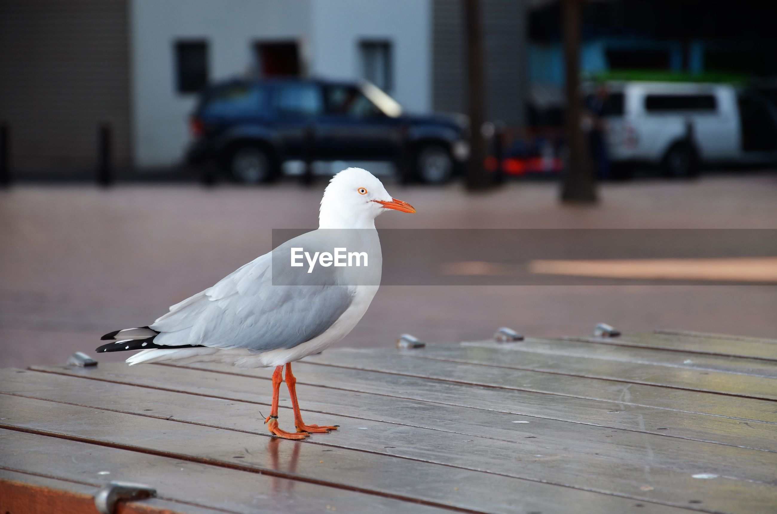 Seagull perching on wooden table