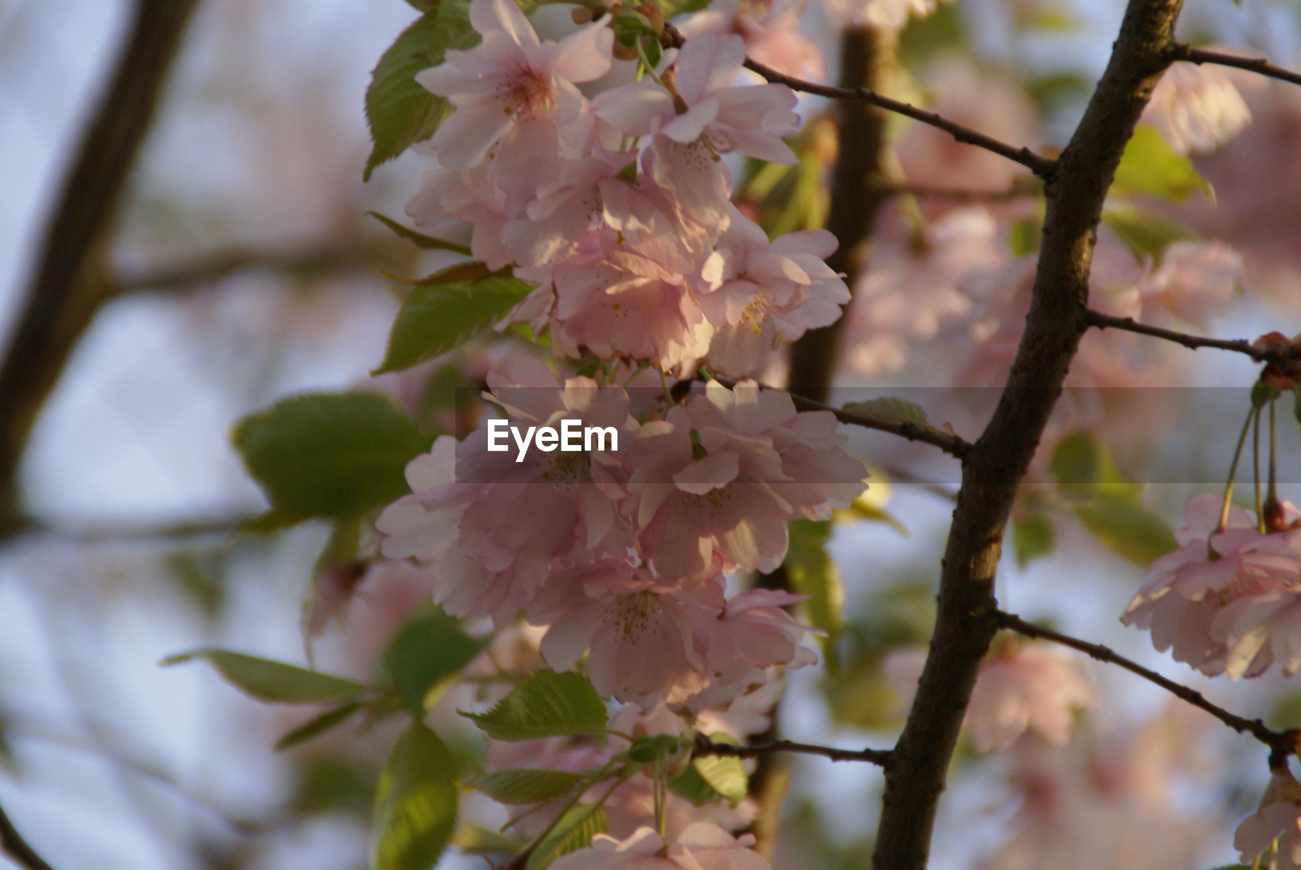CLOSE-UP OF FLOWERS ON TREE