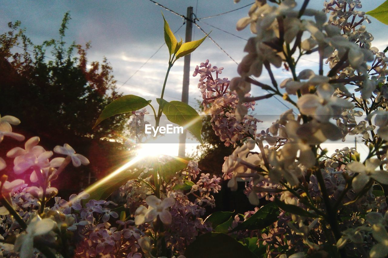 plant, flower, flowering plant, growth, beauty in nature, fragility, sunlight, nature, freshness, vulnerability, sunbeam, day, lens flare, tree, close-up, no people, springtime, sky, sun, blossom, outdoors, flower head, cherry blossom