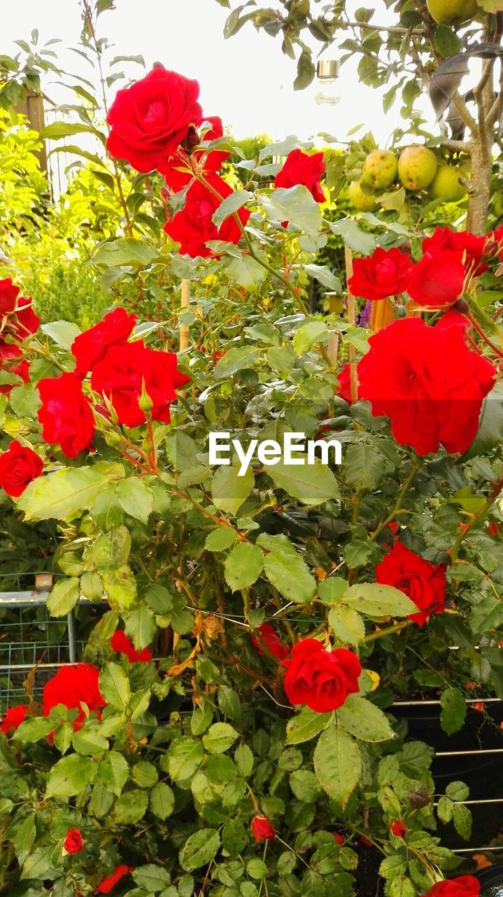 flower, red, growth, nature, beauty in nature, petal, plant, fragility, freshness, blooming, no people, leaf, outdoors, flower head, day, green color, poppy, bougainvillea, close-up