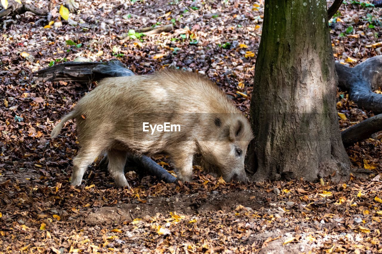 pig, animal themes, animal, mammal, one animal, wild boar, no people, land, nature, tree, animal wildlife, animals in the wild, forest, day, piglet, vertebrate, full length, plant part, field, outdoors