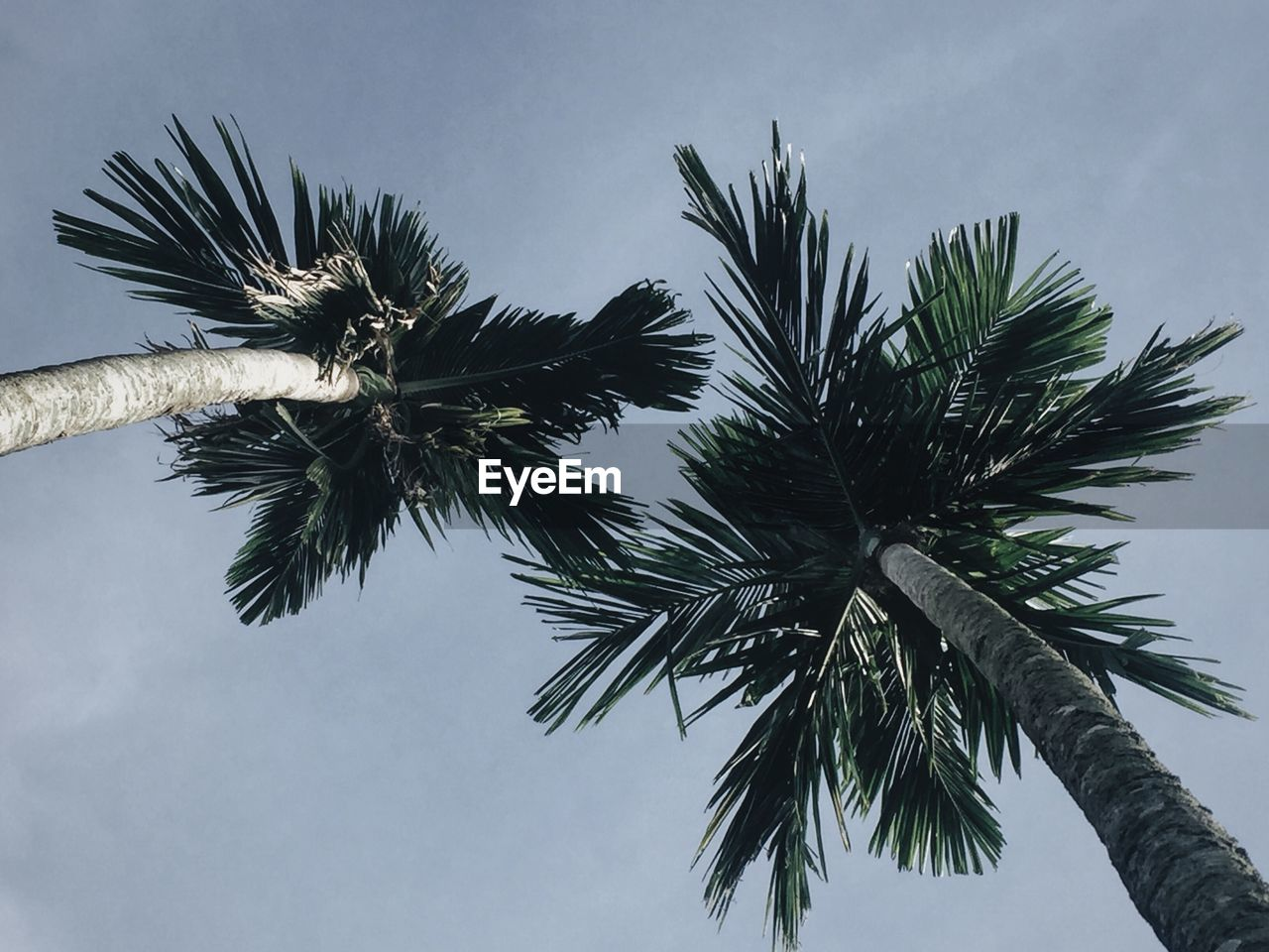 palm tree, sky, tree, tropical climate, plant, low angle view, growth, nature, palm leaf, no people, tranquility, trunk, tree trunk, beauty in nature, coconut palm tree, leaf, day, outdoors, green color, scenics - nature, tropical tree