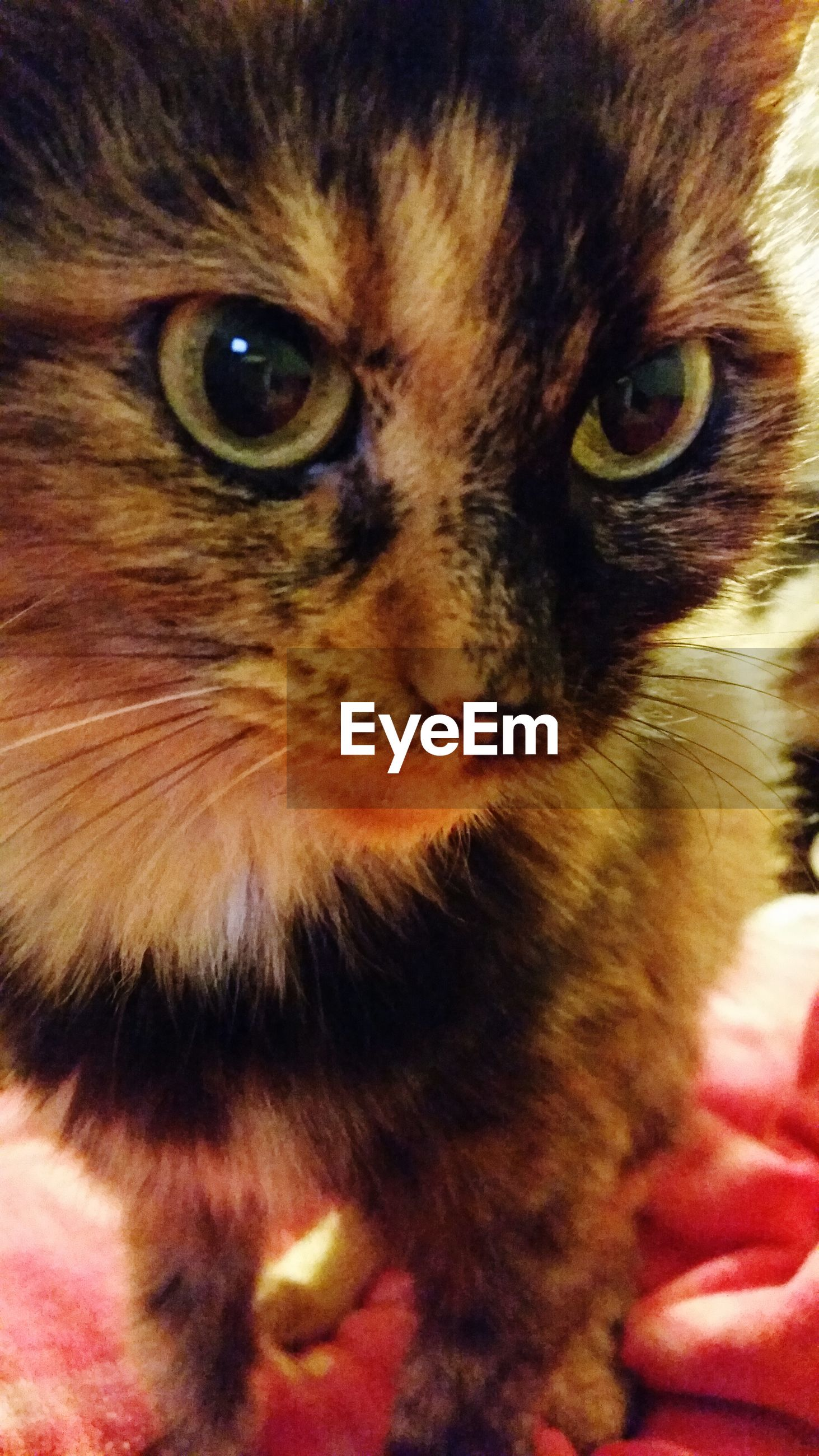 pets, domestic animals, one animal, domestic cat, animal themes, cat, mammal, feline, indoors, whisker, close-up, animal head, portrait, looking at camera, animal eye, part of, staring, animal body part, animal hair