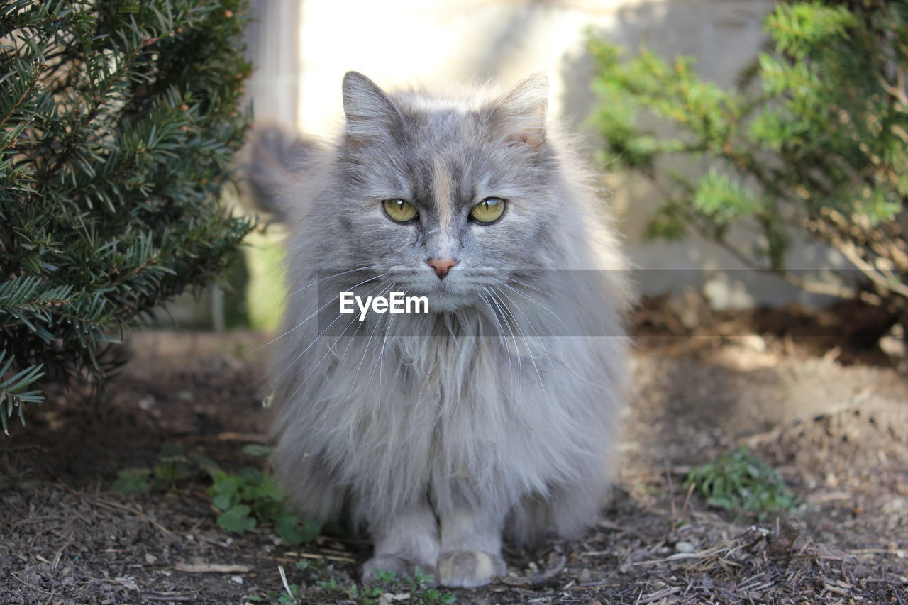cat, pets, domestic, domestic cat, domestic animals, feline, mammal, one animal, vertebrate, looking at camera, portrait, no people, day, whisker, nature, plant, focus on foreground, maine coon cat, yellow eyes