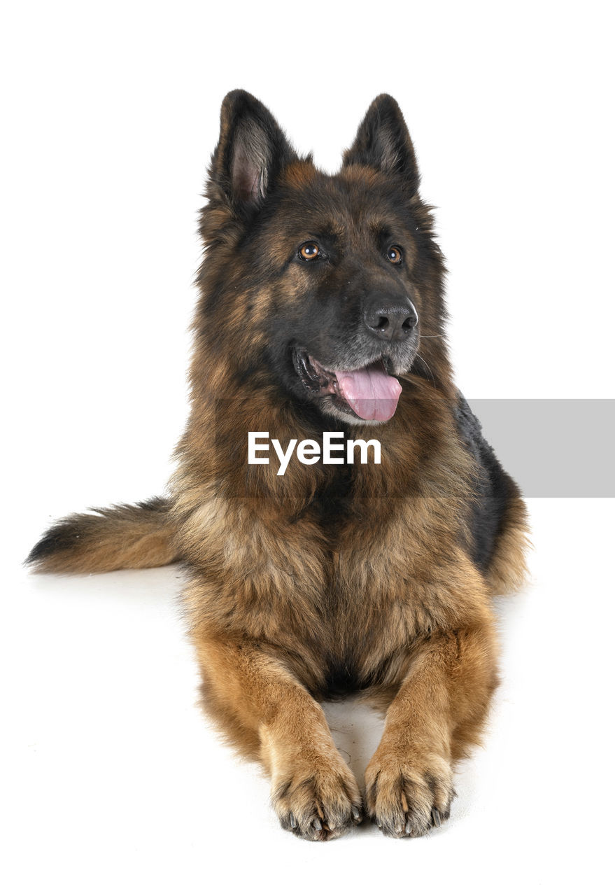 one animal, animal, mammal, animal themes, studio shot, canine, domestic, dog, pets, white background, domestic animals, vertebrate, indoors, cut out, sitting, looking, no people, portrait, german shepherd, full length, mouth open, animal head
