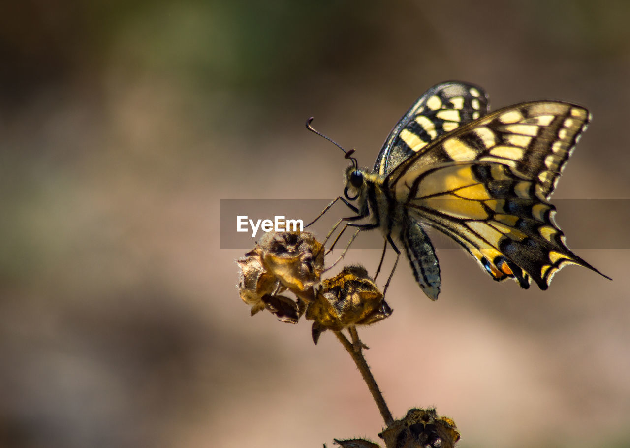 insect, invertebrate, animal wildlife, animals in the wild, animal, animal themes, one animal, beauty in nature, close-up, animal wing, flower, focus on foreground, butterfly - insect, plant, no people, day, nature, flowering plant, selective focus, fragility, outdoors, flower head, pollination