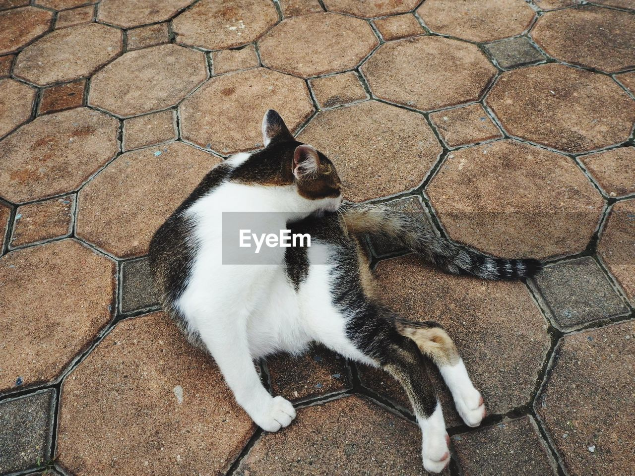 feline, cat, pets, domestic, domestic animals, domestic cat, vertebrate, high angle view, mammal, one animal, no people, relaxation, day, footpath, flooring, full length, directly above, paving stone, tiled floor, whisker