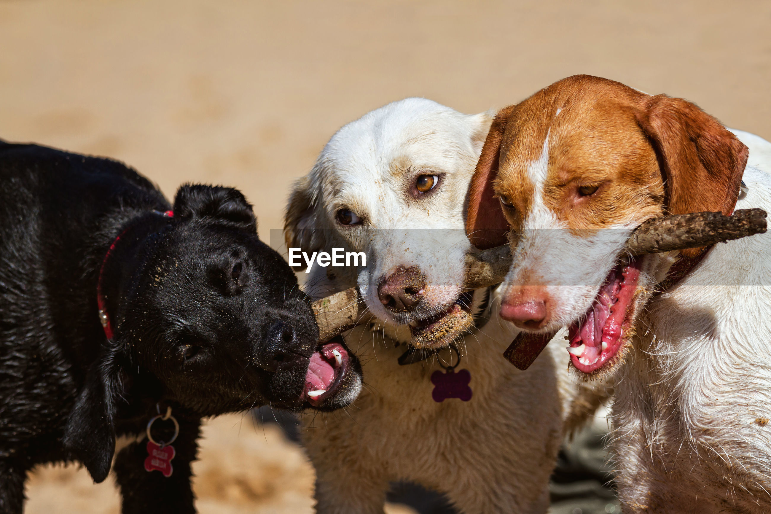 Portrait of dogs chewing a stick
