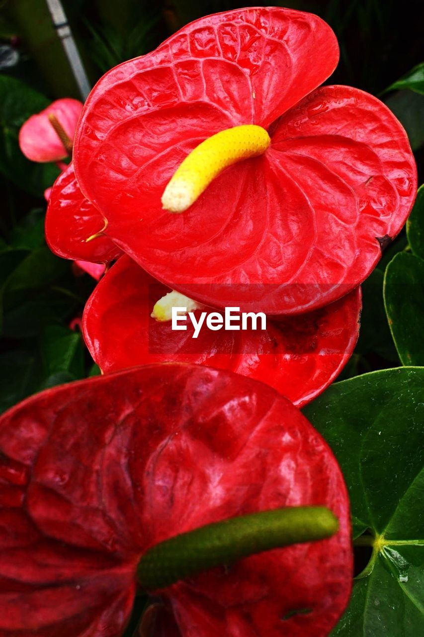 flower, petal, red, freshness, flower head, beauty in nature, fragility, nature, growth, close-up, day, wet, plant, drop, no people, outdoors, blooming, water, leaf, hibiscus